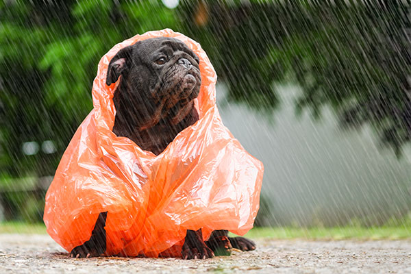 Pug dog wearing orange raincoat Rain Photography