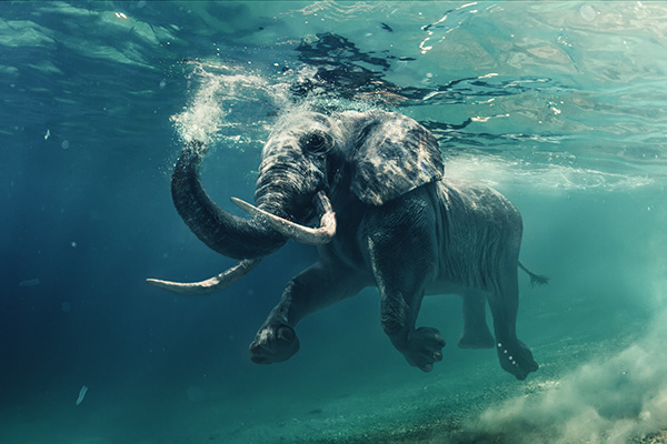 Swimming Elephant Underwater